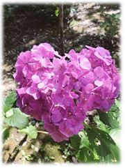 【千葉駅前第2】ハート型の紫陽花