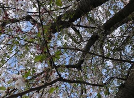 【浜松第2】桜