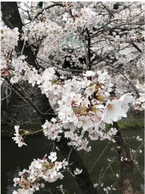 松戸第2センター桜画像