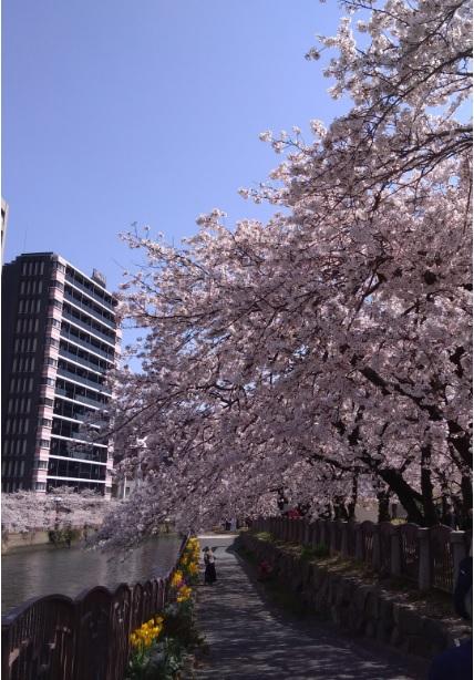 福岡天神北センター桜の写真[1]